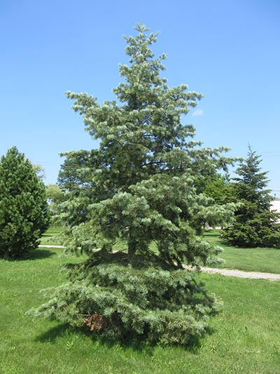 Image for White Fir, Concolor Fir