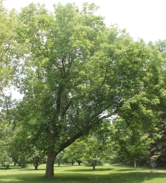 Image for Manitoba Maple