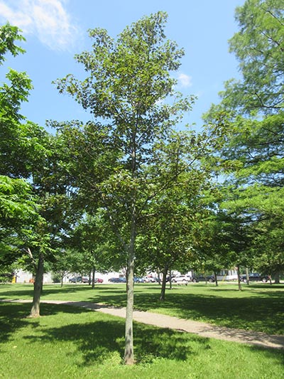 Image for Sycamore Maple, Planetree Maple