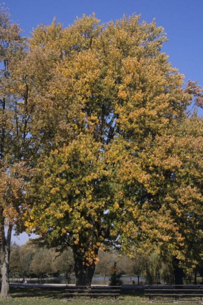 Image for Silver Maple, Soft Maple