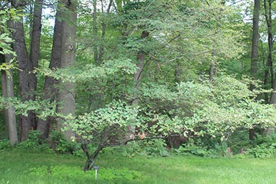 Image for Shadblow Serviceberry, Thicket Serviceberry
