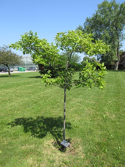 Image for Smooth Serviceberry, Allegheny Serviceberry