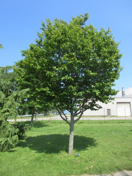 Image for Blue-Beech, American Hornbeam, Musclewood, Ironwood