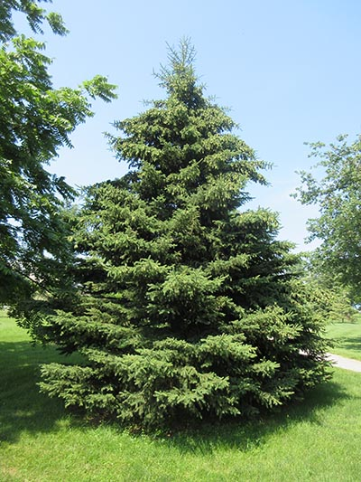 Image for White Spruce