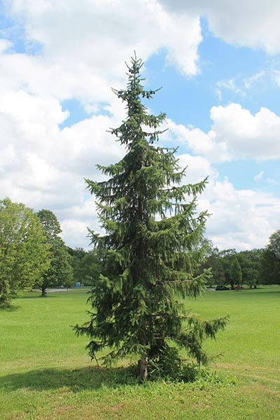Image for Serbian Spruce