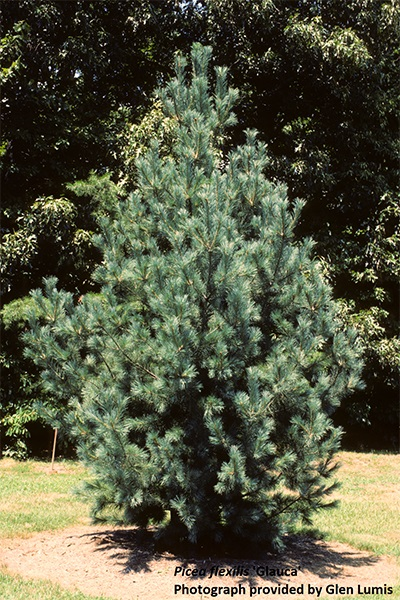 Image for Limber Pine, Rocky Mountain White Pine