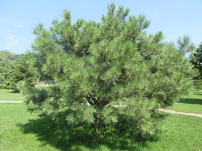 Image for Ponderosa Pine, Western Yellow Pine