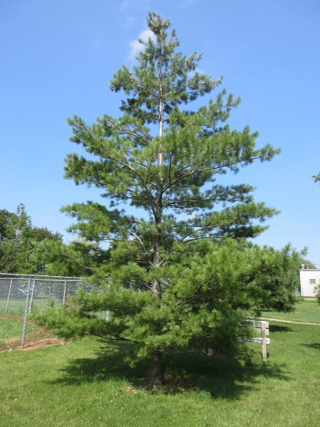 Image for Eastern White Pine