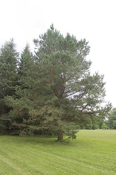 Image for Scots Pine, Scotch Pine