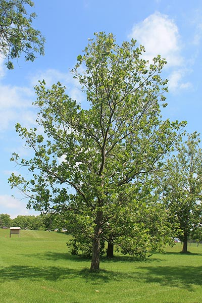 Image for American Sycamore, American Plane Tree, Eastern Sycamore, Buttonwood, Buttonball-tree