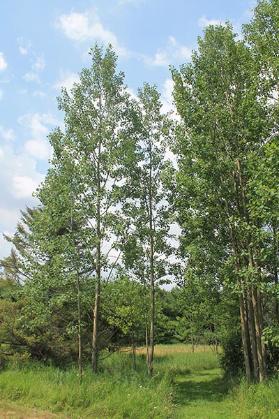Image for Largetooth Aspen, Bigtooth Aspen