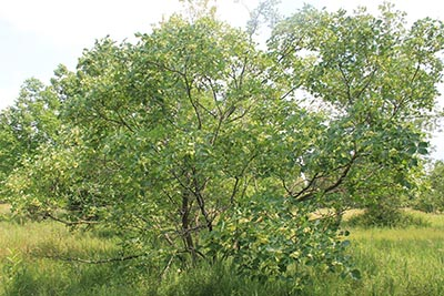 Image for Common Hoptree, Wafer-ash, Stinking-ash