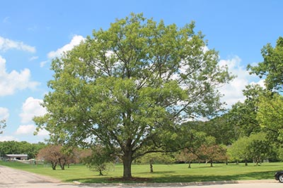 Image for Red Oak, Northern Red Oak