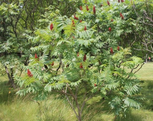 Image for Staghorn Sumac