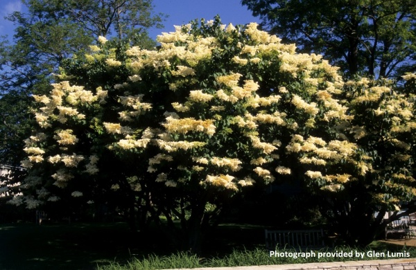 Image for Japanese Tree Lilac