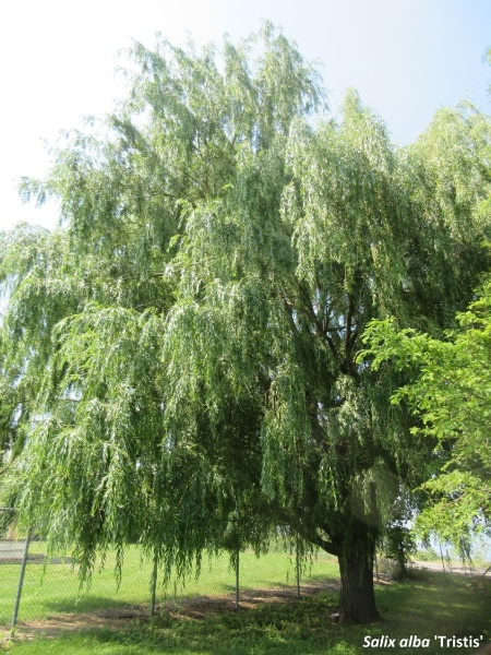 Image for Golden Weeping Willow