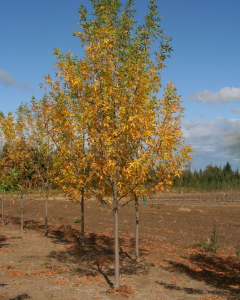 Image for Prairie Spire® Green Ash