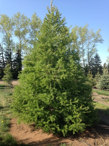 Image for Siberian Larch