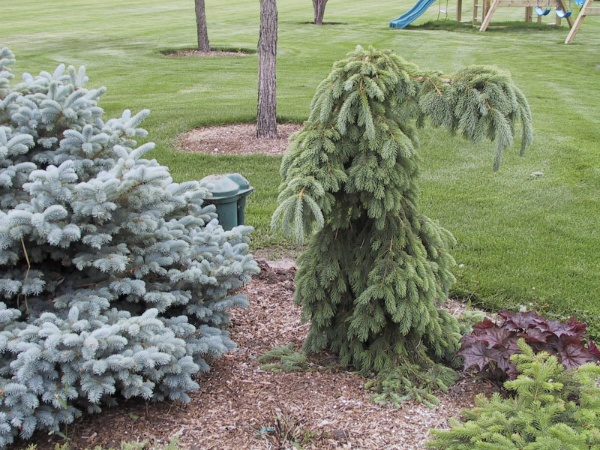 Image for Weeping White Spruce