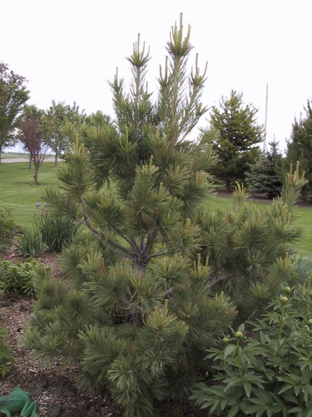 Image for Swiss Stone Pine