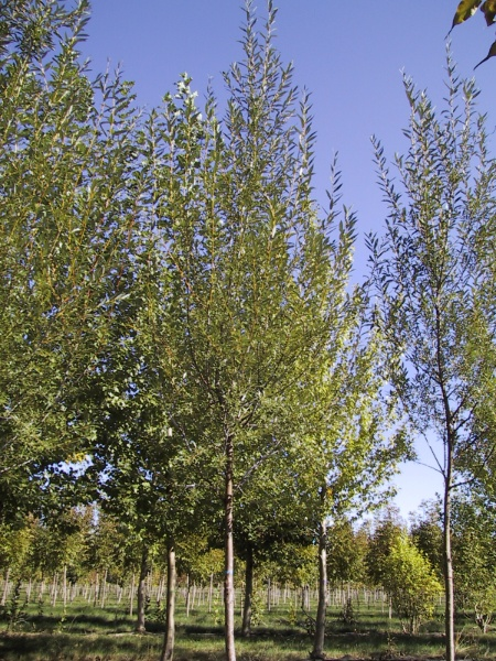 Image for Marquette Pussy Willow