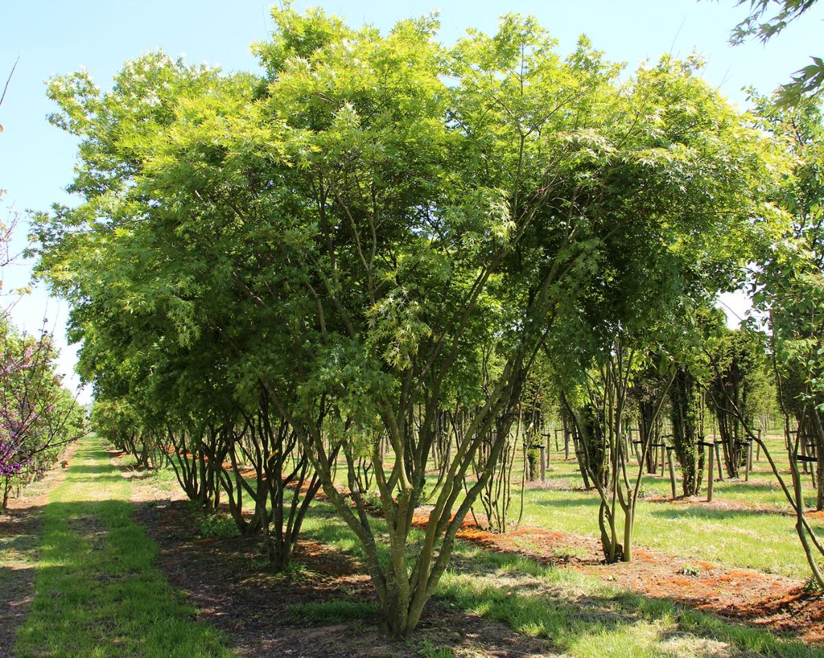 Acer Palmatum Tree Species Calculator List