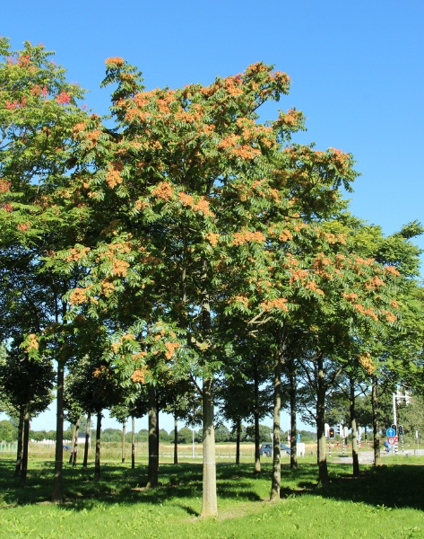 Image for Tree-of-Heaven, Ailanthus, Chinese-Sumac