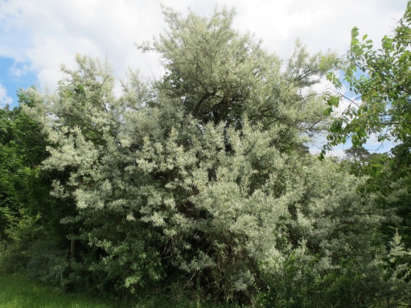 Image for Russian Olive, Russian elaeagnus