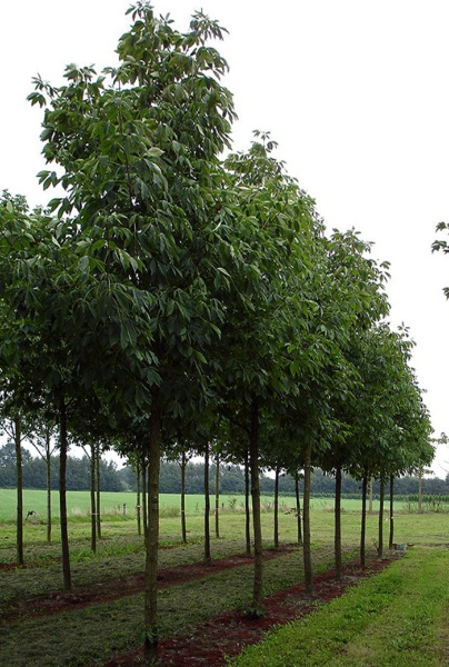 Image for Hardy Rubber Tree