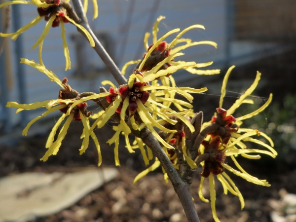 Image for Witch-hazel, Common Witchhazel