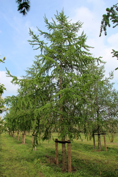 Image for Japanese Larch