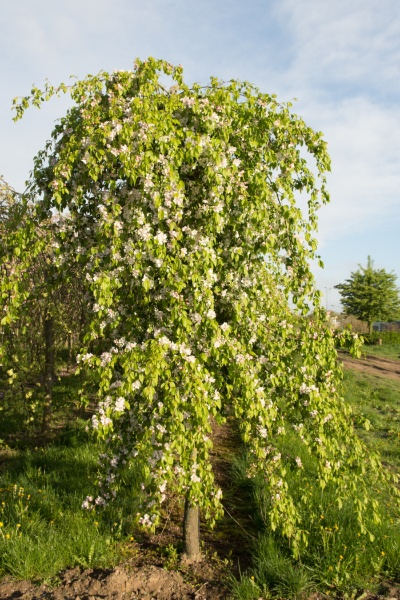 Image for Red Jade Flowering Crabapple