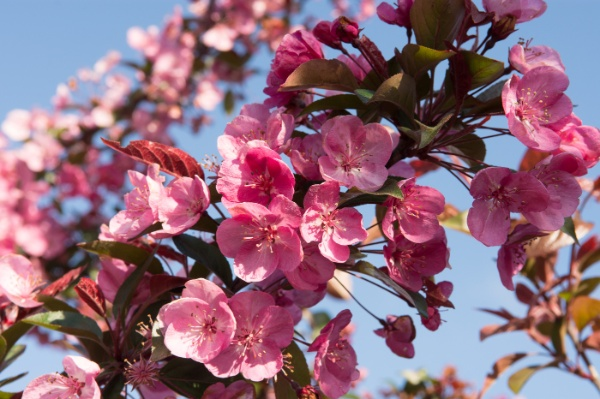 Image for Royalty Flowering Crabapple