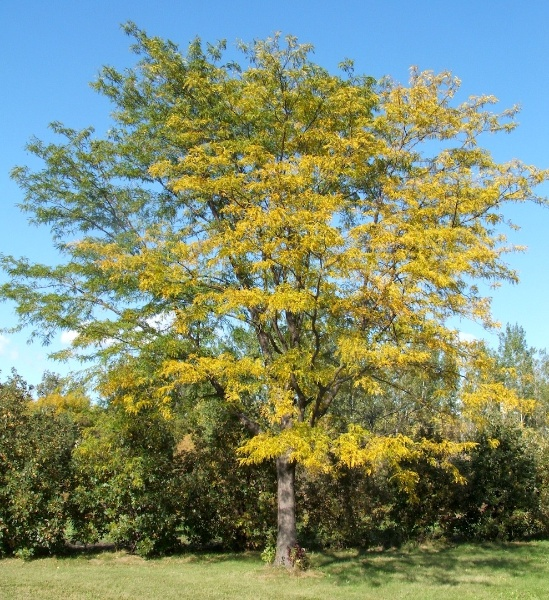 Image for Northern Acclaim® Thornless Honeylocust
