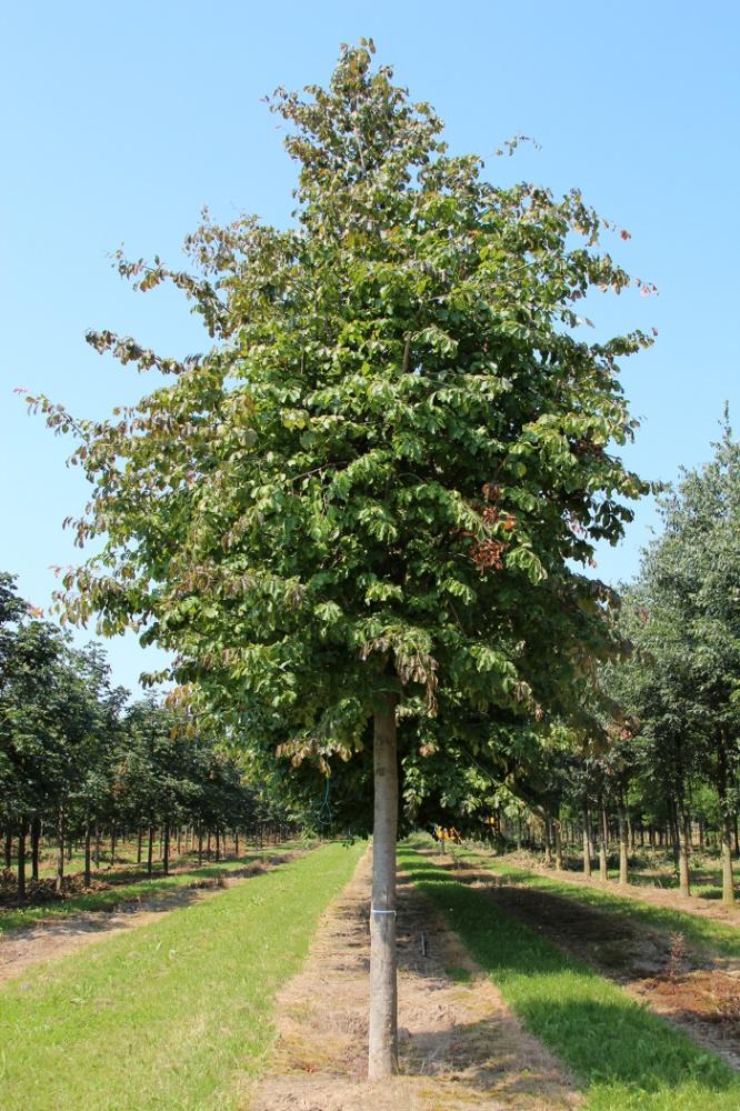 Parrotia Persica Tree Species Calculator List