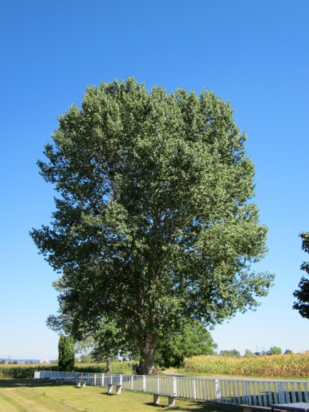 Image for Lombary Poplar