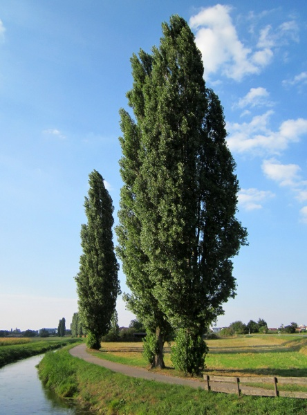 Image for Lombardy Poplar