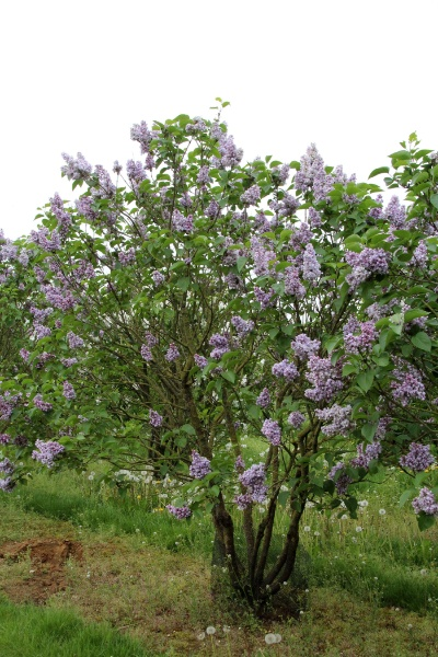 Image for Katherine Havemeyer French Lilac