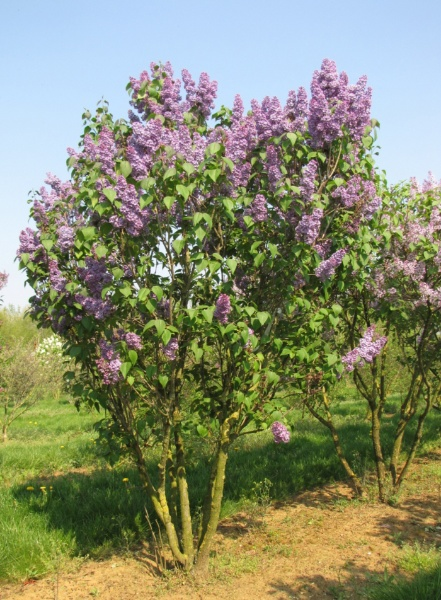 Image for Common Lilac