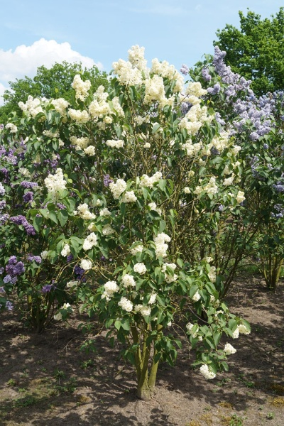 Image for Primrose French Lilac