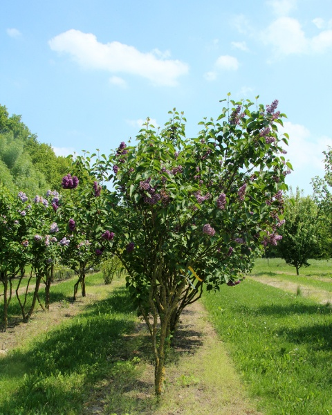 Image for Sensation French Lilac